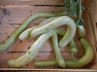 zucchine - 26 luglio 2011  - Alcamo (937 clic)