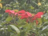 stelle di Natale - 15 dicembre 2011  - Alcamo (671 clic)