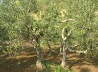 C.da L'Acqua La Vite - oliveto - 25 aprile 2010  - Castellammare del golfo (1881 clic)