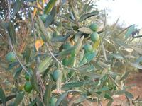 olive - 31 agosto 2010  - Chiusa sclafani (3730 clic)