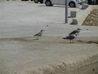 gabbiani sul molo - 24 luglio 2011  - Bonagia (1052 clic)