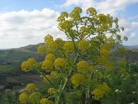 sul colle Pianto Romano - flora - 11 aprile 2010   - Calatafimi segesta (2419 clic)
