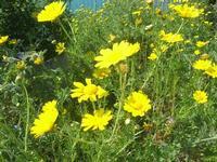 Guidaloca - margherite - 3 aprile 2011  - Castellammare del golfo (1090 clic)