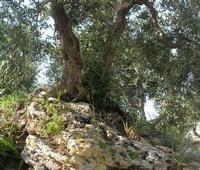 C.da L'Acqua La Vite - ulivo abbarbicato sulla roccia - 25 aprile 2010  - Castellammare del golfo (1870 clic)