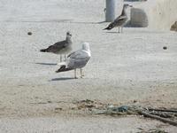 gabbiani sul molo - 24 luglio 2011  - Bonagia (1149 clic)
