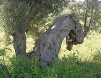 C.da L'Acqua La Vite - olivo - 25 aprile 2010  - Castellammare del golfo (1868 clic)