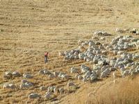 campi di grano dopo la mietitura e gregge al pascolo - 3 luglio 2011  - Contessa entellina (1537 clic)