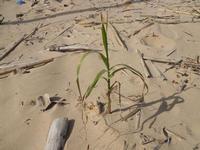Zona Canalotto - canna: sulla spiaggia germoglia una vita - 28 febbraio 2010  - Alcamo marina (2129 clic)