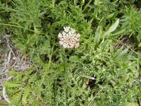 flora all'Isulidda - 1 maggio 2011  - Macari (1083 clic)