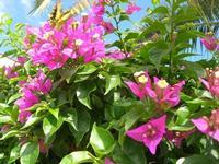 farfalla e bouganville - 29 agosto 2010  - Alcamo (1343 clic)