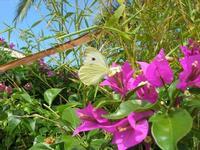 farfalla e bouganville - 29 agosto 2010  - Alcamo (1401 clic)