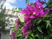 farfalla e bouganville - 29 agosto 2010  - Alcamo (1590 clic)