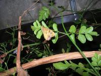 farfalla notturna - 6 novembre 2010  - Alcamo (1324 clic)