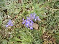 flora all'Isulidda - 1 maggio 2011  - Macari (977 clic)