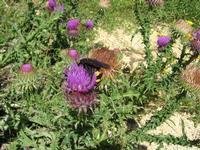 fiore ed insetto - 6 giugno 2010  - Santa ninfa (2024 clic)