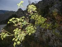 finocchio selvatico - 30 ottobre 2011  - Balata di baida (796 clic)