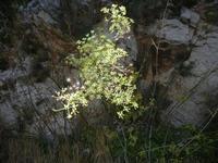 finocchio selvatico - 30 ottobre 2011  - Balata di baida (781 clic)