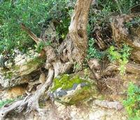 C.da L'Acqua La Vite - radici - 25 aprile 2010  - Castellammare del golfo (1883 clic)