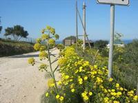 flora sulla strada di accesso alla Riserva - 3 aprile 2011  - Riserva dello zingaro (702 clic)