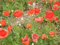 papaveri - 5 maggio 2011  - Castellammare del golfo (973 clic)