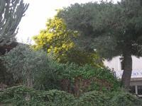 albero di mimosa - 23 gennaio 2011  - Gibellina (1821 clic)