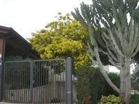 albero di mimosa - 23 gennaio 2011  - Gibellina (1916 clic)