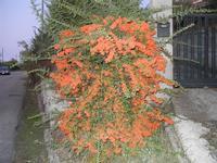 flora lungo la strada - Monte Bonifato - 29 settembre 2011  - Alcamo (641 clic)