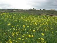 la campagna si tinge di giallo - 1 gennaio 2011  - Buseto palizzolo (1135 clic)