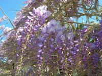 Baia di Guidaloca - flora - 3 aprile 2011  - Castellammare del golfo (1070 clic)