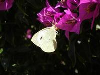 farfalla e buganvillea - 7 luglio 2011  - Alcamo (792 clic)