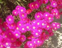 aiuola fiorita: è primavera! - 30 aprile 2010  - Alcamo (2539 clic)