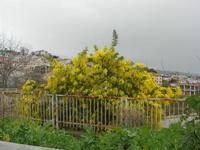 albero di mimosa - 23 gennaio 2011  - Santa ninfa (1788 clic)
