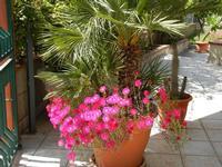 fiori e palma nana - 7 maggio 2011  - Alcamo (983 clic)