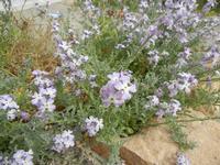 flora - 25 aprile 2011   - Cornino (1243 clic)