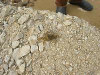 Spiaggia Plaja - granchio - 13 ottobre 2010  - Castellammare del golfo (1390 clic)