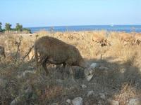 pecore - 21 luglio 2010  - San vito lo capo (1362 clic)
