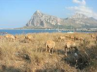 pecore - 21 luglio 2010  - San vito lo capo (1402 clic)