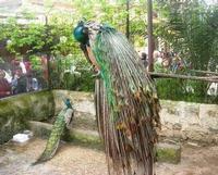 pavoni - 18 aprile 2010  - Sant'angelo muxaro (2064 clic)
