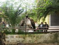 pavoni - 18 aprile 2010  - Sant'angelo muxaro (2082 clic)