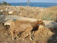 pecore - 21 luglio 2010  - San vito lo capo (1384 clic)