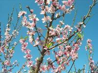 fiori di pesco - 3 aprile 2011  - Scopello (1335 clic)