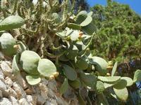Baia di Guidaloca - ficodindia - 24 settembre 2011  - Castellammare del golfo (633 clic)