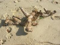 zucchi di canna sulla spiaggia - Zona Canalotto - 30 gennaio 2011  - Alcamo marina (1385 clic)