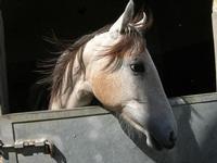 cavallo - scuderia del Castello di Rampinzeri - 6 giugno 2010  - Santa ninfa (2310 clic)