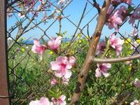 fiori di pesco - 3 aprile 2011  - Scopello (1105 clic)