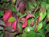 foglie - 1 novembre 2010  - Scopello (1756 clic)