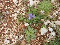 flora all'Isulidda - 1 maggio 2011  - Macari (1297 clic)