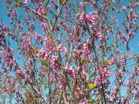 albero in fiore - 3 aprile 2011  - Scopello (1211 clic)
