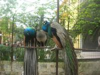 pavoni - 18 aprile 2010  - Sant'angelo muxaro (2349 clic)