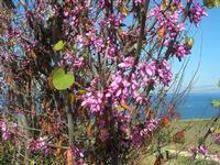 albero in fiore - 3 aprile 2011  - Scopello (1300 clic)
